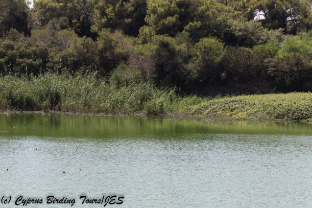Bishop's Pool 12 September 2017 (c) Cyprus Birding Tours