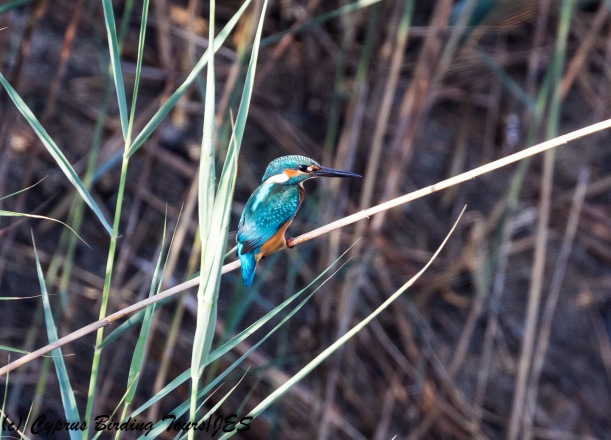 Common Kingfisher, Phasouri Reed Beds 13th September 2017 (c) Cyprus Birding Tours
