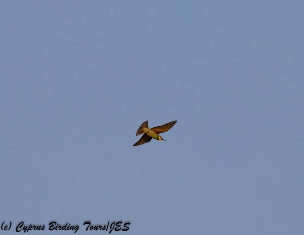 European Bee-eater 16th September 2017 (c) Cyprus Birding Tours