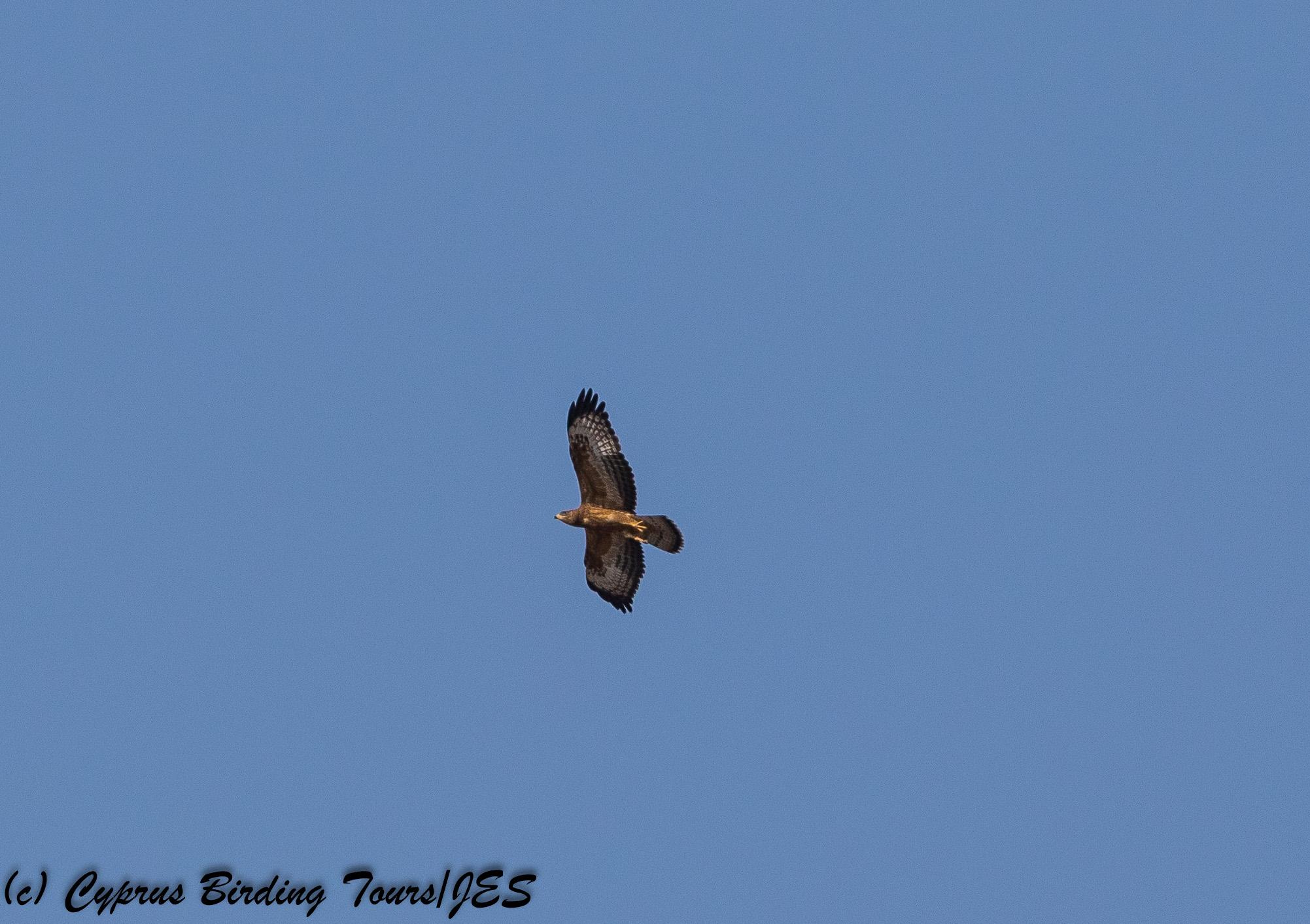 European Honey Buzzard, Phasouri Reed Beds 13th September 2017 (c) Cyprus Birding Tours
