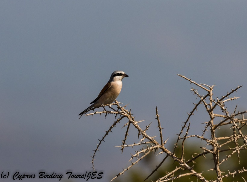 Red-backed Shrike, Akrotiri Salt Lake, 5th September 2017 (c) Cyprus Birding Tours