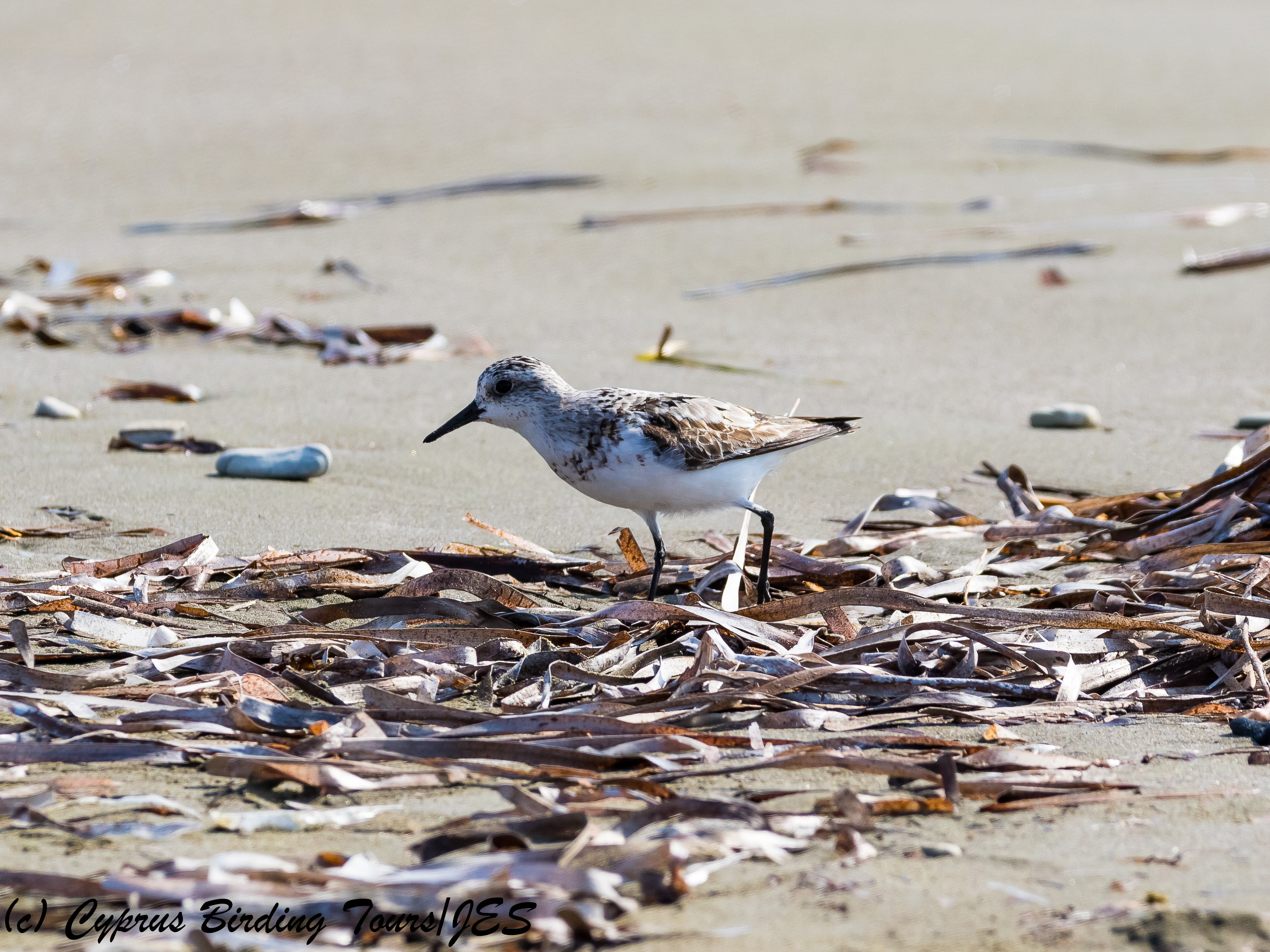 Sanderling, Larnaca 15th September 2017 (c) Cyprus Birding Tours