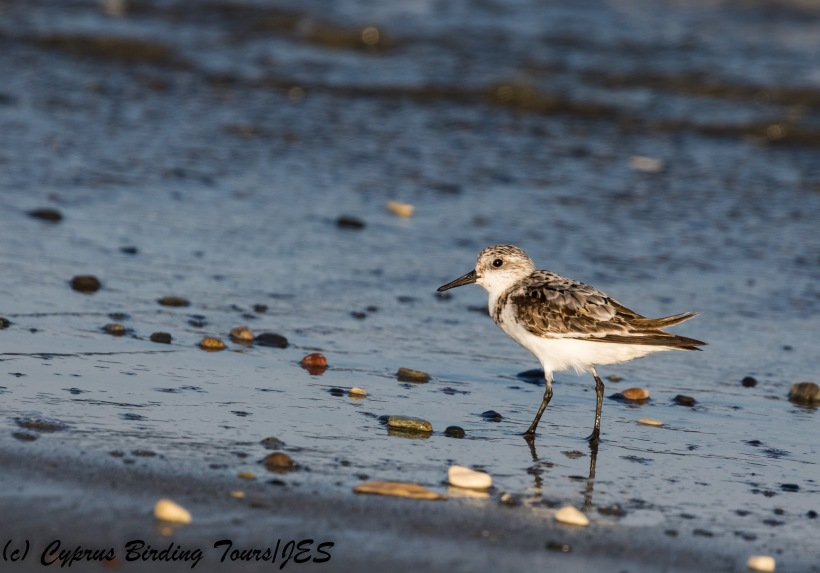 Sanderling, Spiros Beach 7th September 2017 (c) Cyprus Birding Tours