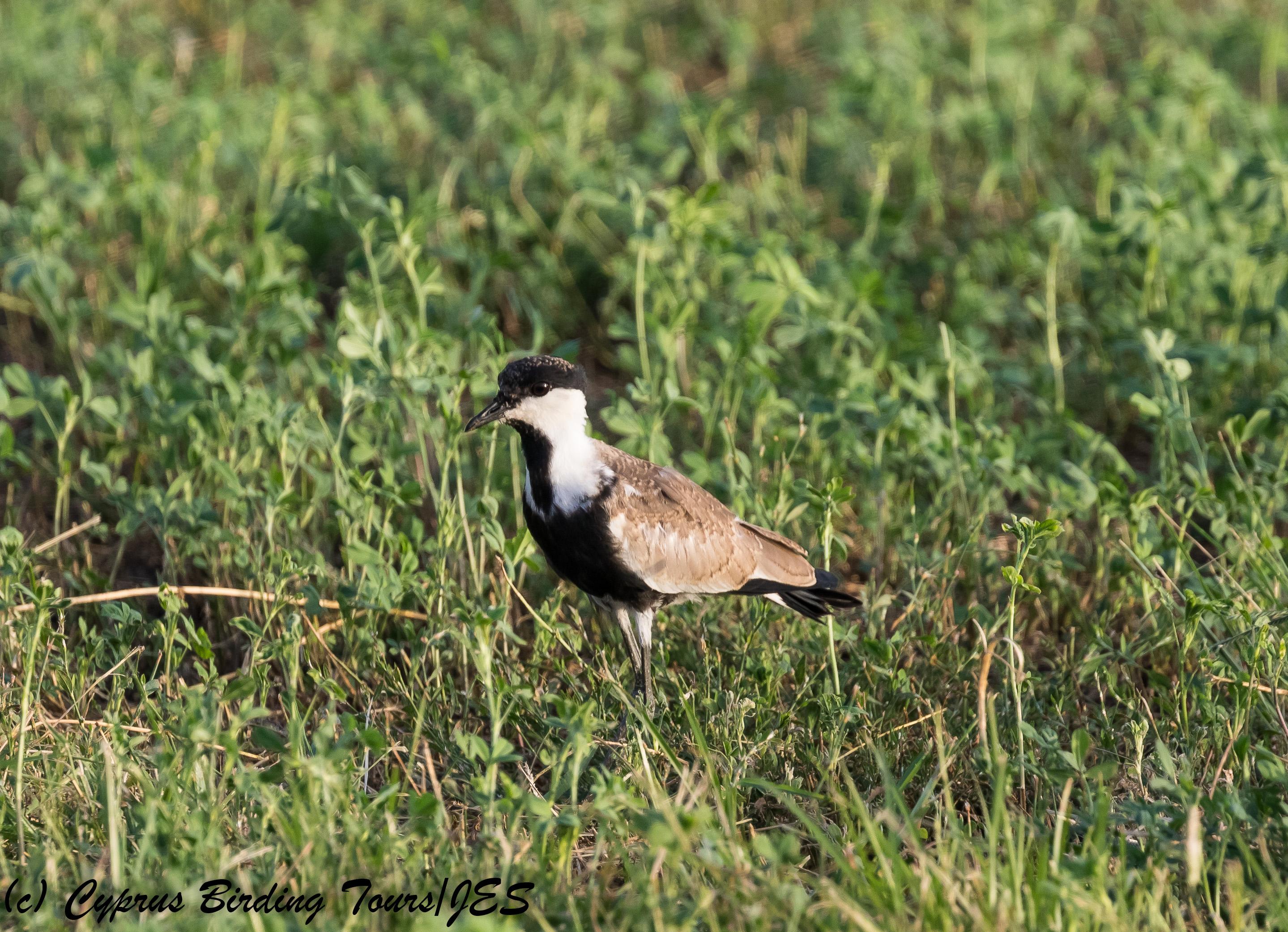 Spur-winged Lapwing juvenile , Paphos Sewage Plant 21st September 2017 (c) Cyprus Birding Tours