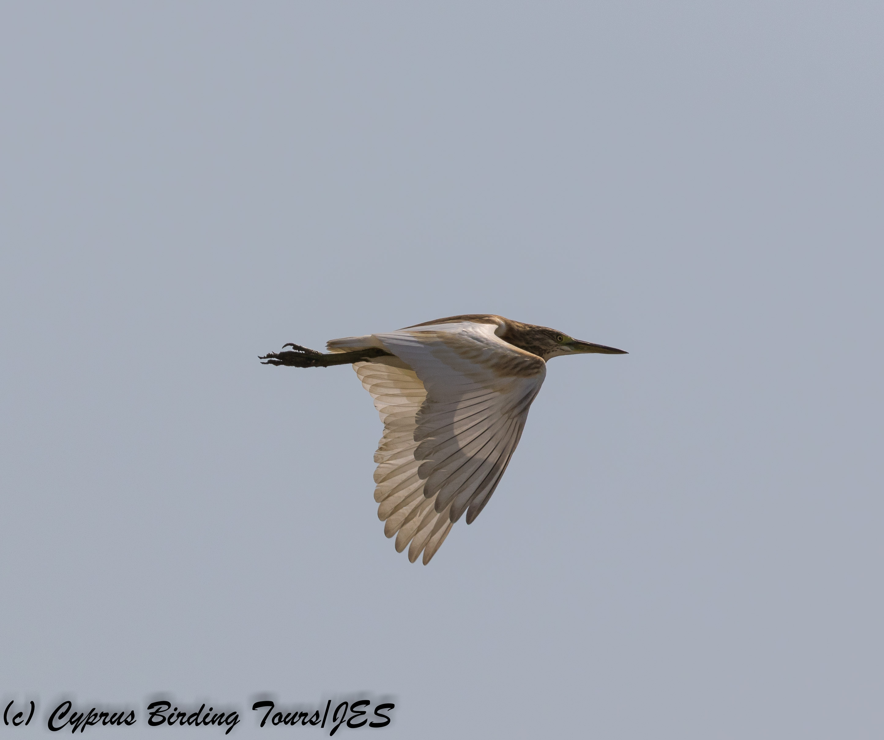 Squacco Heron, Larnaca 15th September 2017 (c) Cyprus Birding Tours