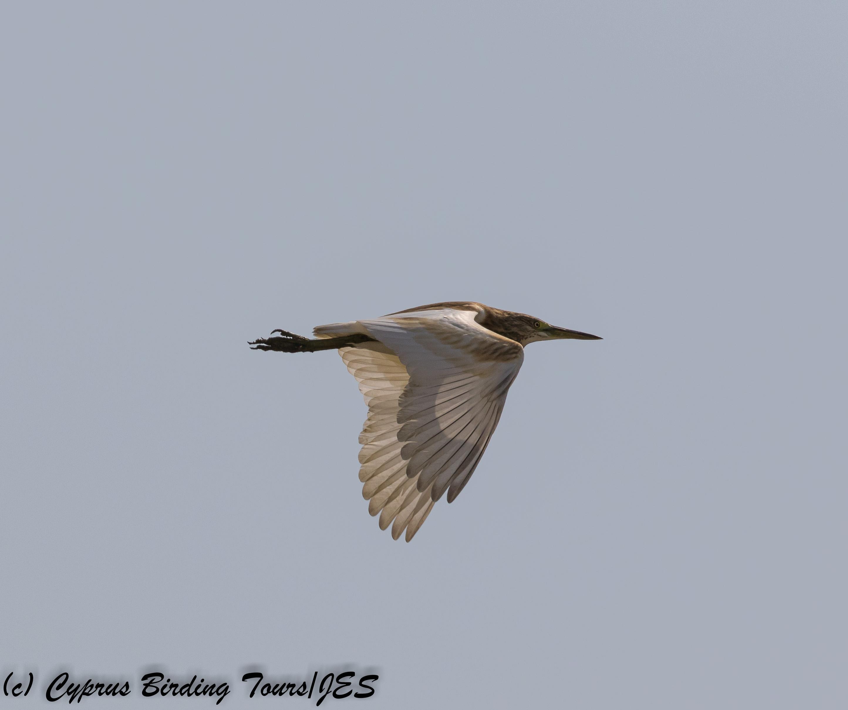 Squacco Heron, Larnaca 15th September 2017 (c) Cyprus Birding Tours