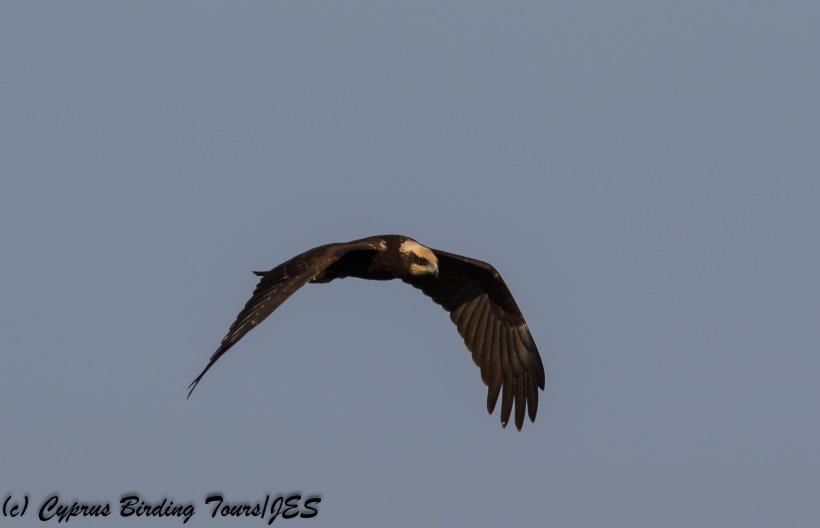 Western Marsh Harrier, Phasouri Reed Beds 13th September 2017 (c) Cyprus Birding Tours