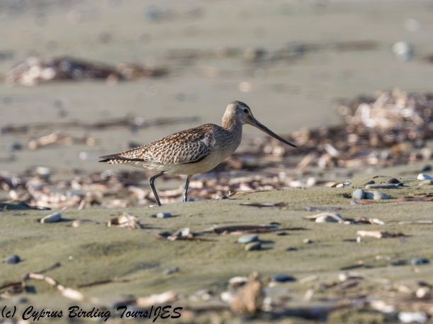 Bar-tailed Godwit, Meneou 20th October 2017 (c) Cyprus Birding Tours