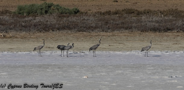 Common Crane, Meneou Pool 16th October 2017 (c) Cyprus Birding Tours