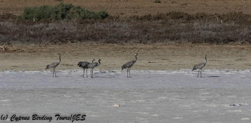 Common Crane, Meneou Pool 16th October 2017 (c) Cyprus Birding Tours