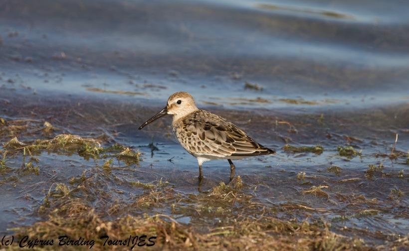 Dunlin, Achna Dam 3rd October 2017 (c) Cyprus Birding Tours
