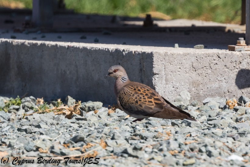 European Turtle Dove, Paphos 10th October 2017 (c) Cyprus Birding Tours