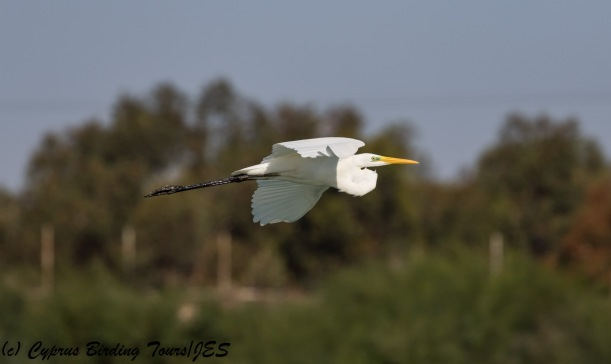 Great Egret, Achna Dam 12th October 2017 (c) Cyprus Birding Tours