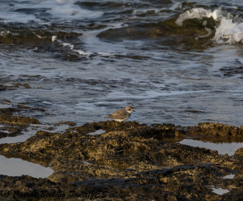 Greater Sandplover, Paphos Headland 27th October 2017 (c) Cyprus Birding Tours