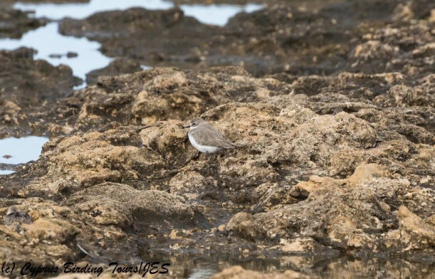Greater Sandplover, Paphos Headland 10th October 2017  (c) Cyprus Birding Tours