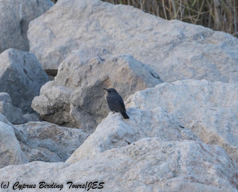 Blue Rock Thrush, Asprokremmos Dam 23rd November 2017 (C) Cyprus Birding Tours
