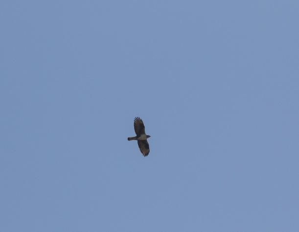 Bonelli's Eagle, 10th November 2017 (c) Cyprus Birding Tours