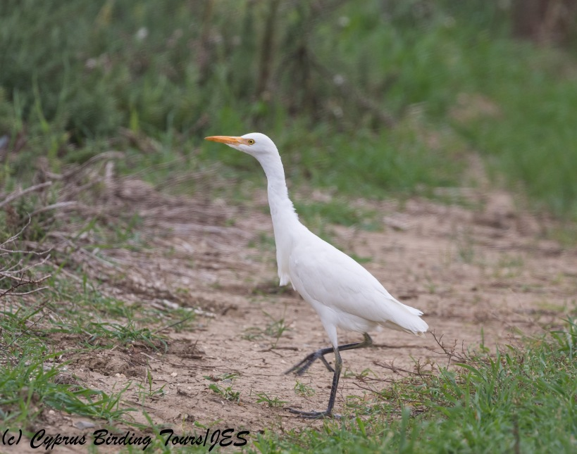 Cattle Egret, Agios Sozomenos 25th November 2017 (c) Cyprus Birding Tours