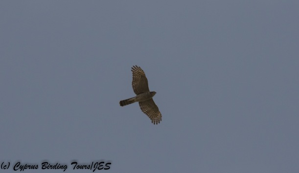 Eurasian Sparrowhawk, Paphos Sewage Plant 14th November 2017 (c) Cyprus Birding Tours