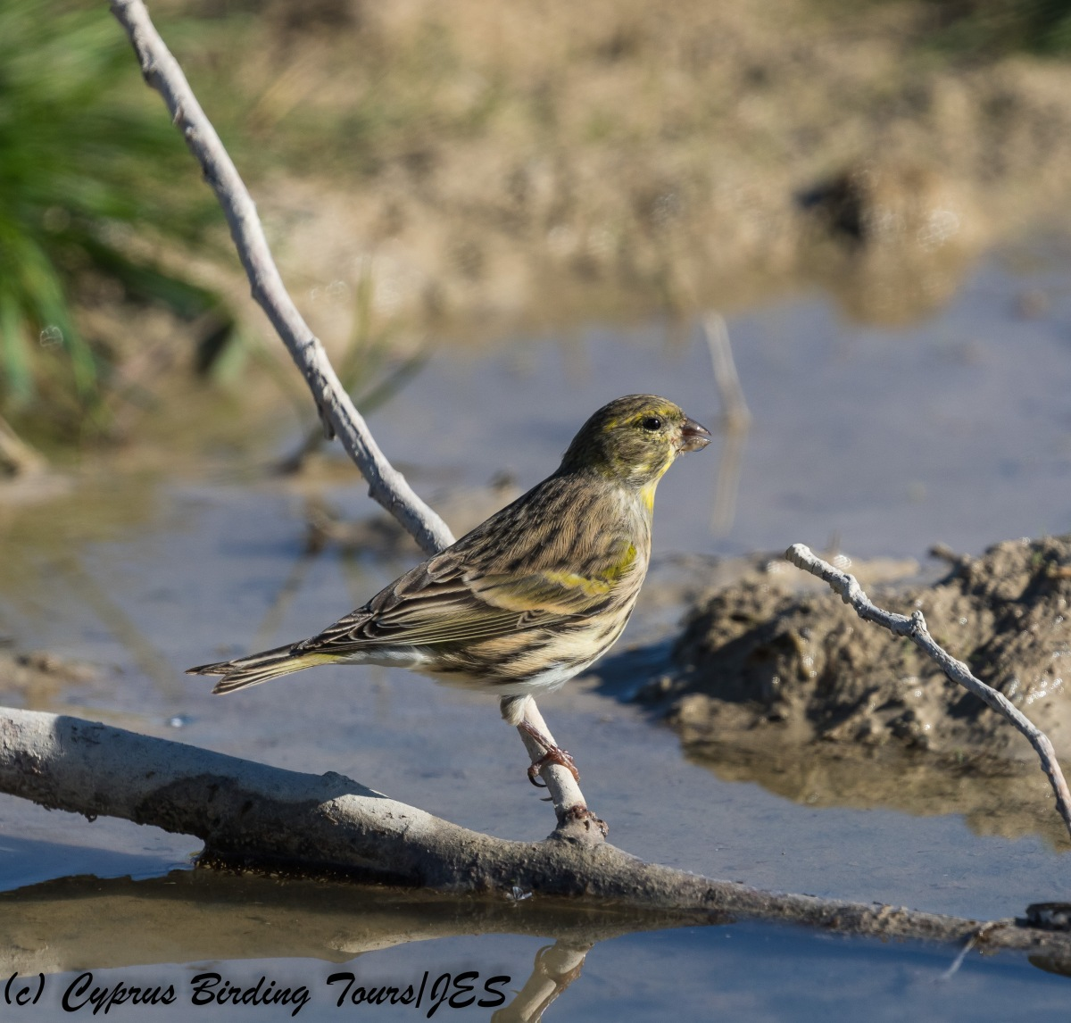 European Serin, Nicosia 9th November 2017 (c) Cyprus Birding Tours