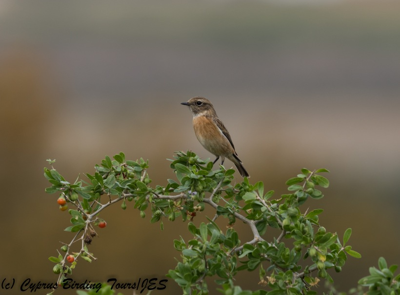 European Stonechat, female, Agios Sozomenos 25th November 2017 (c) Cyprus Birding Tours