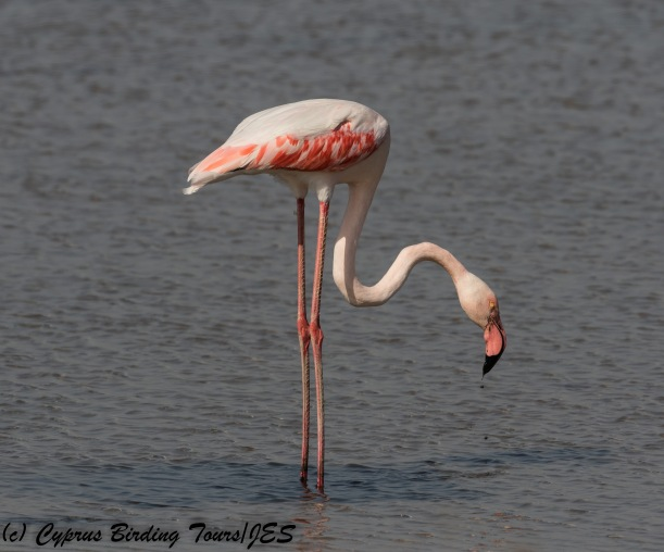 Greater Flamingo, Meneou 13th November 2017 (c) Cyprus Birding Tours
