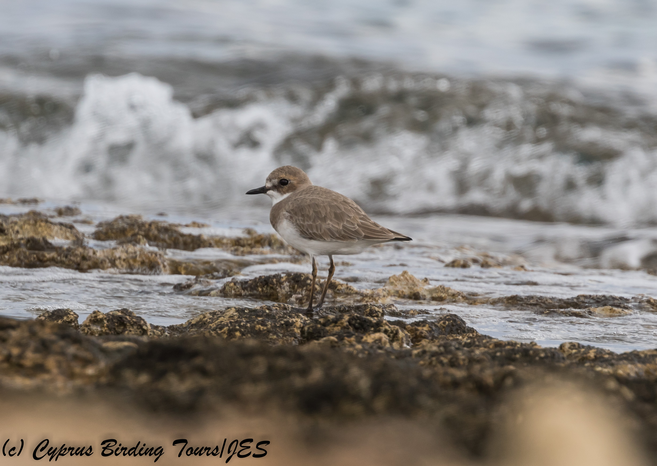Greater Sandplover, Agios Trias, 28th November 2017 (c) Cyprus Birding Tours