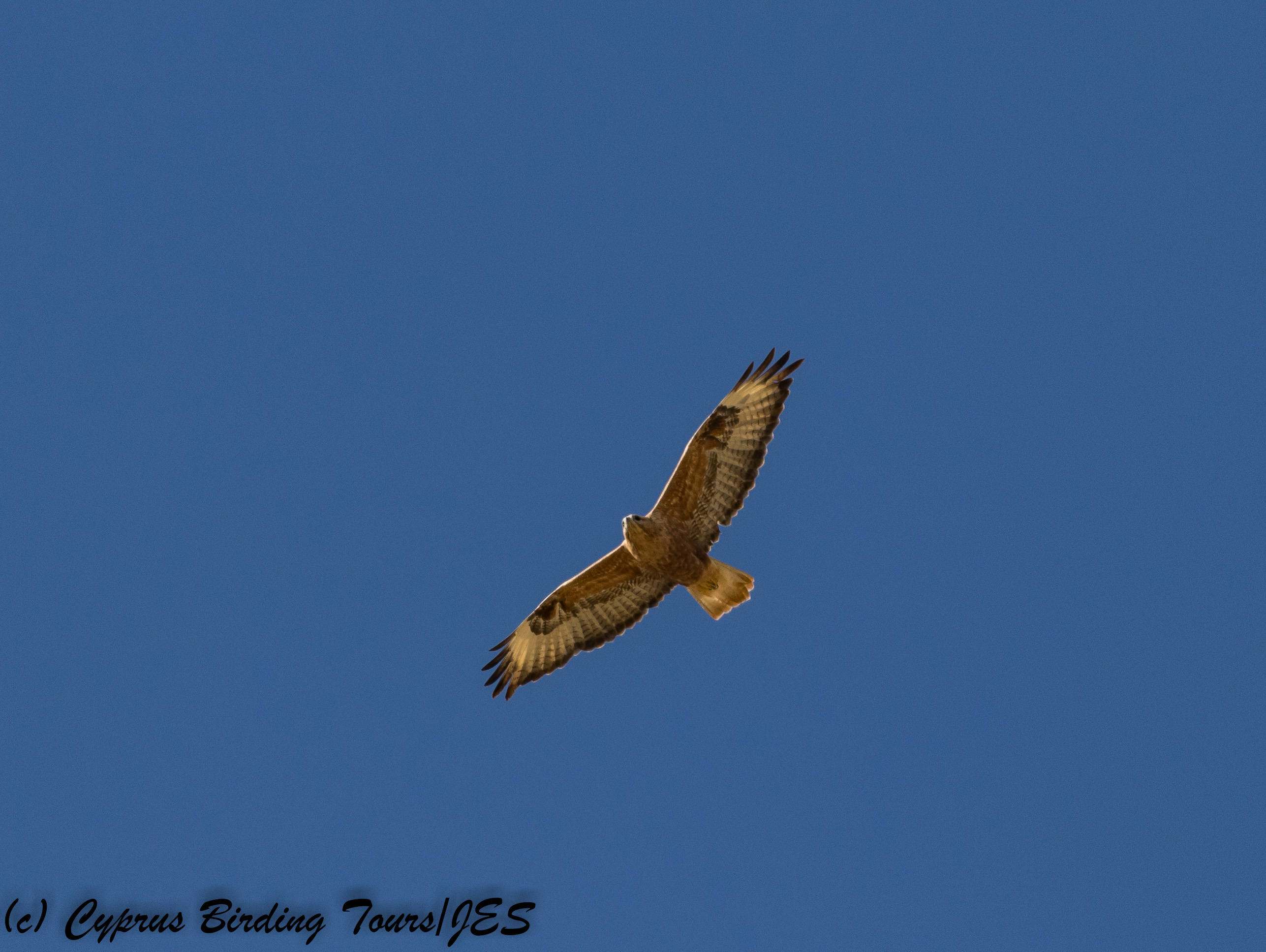 Long-legged Buzzard, Agios Sozomenos 11th November 2017 (c) Cyprus Birding Tours
