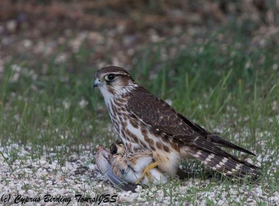 Merlin, Larnaca 21st November 2017 (c) Cyprus Birding Tours