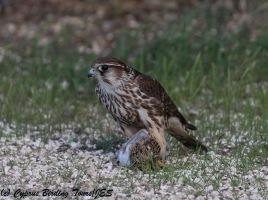 Merlin 6, Larnaca 21st November 2017 (1 of 1)