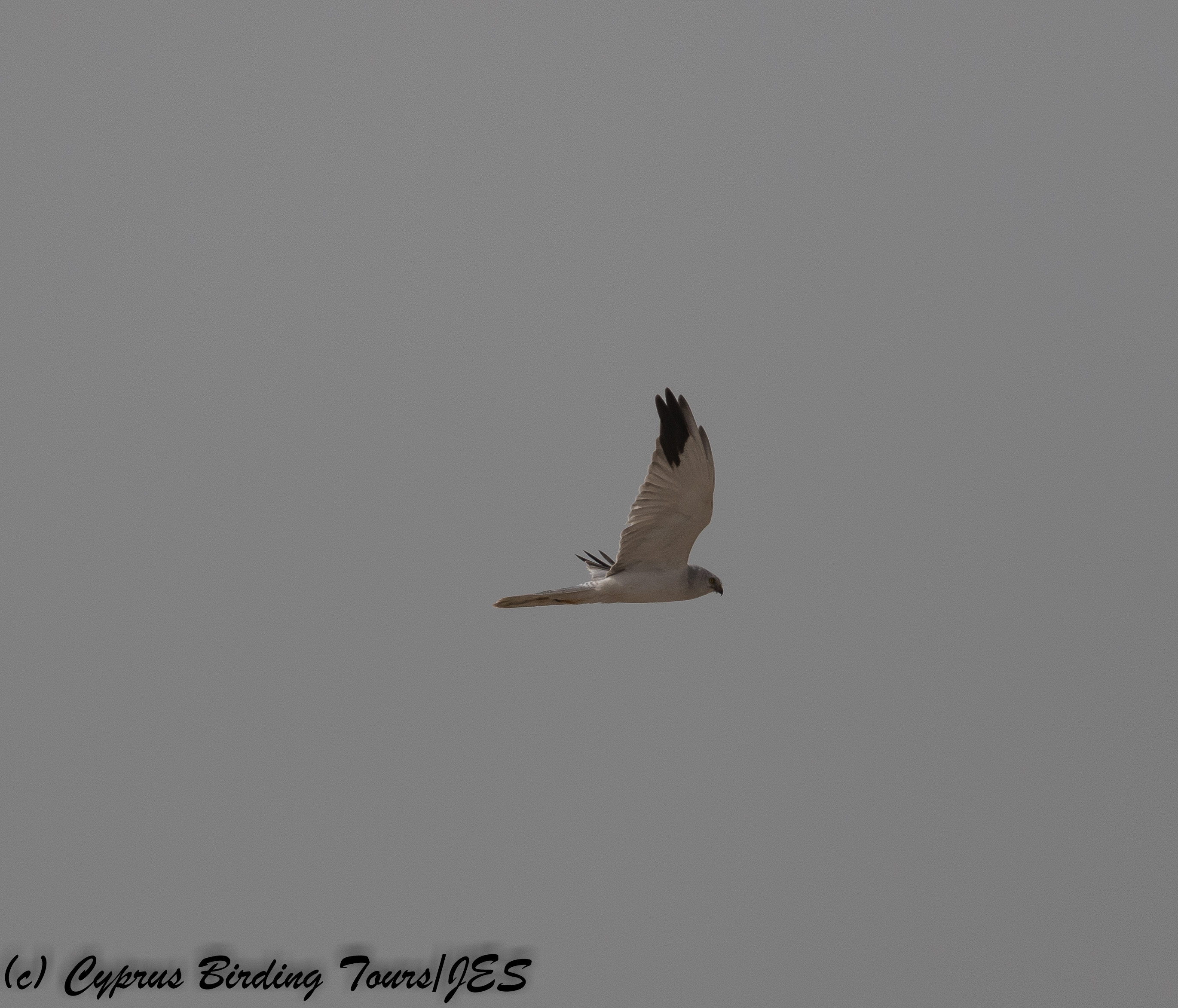 Pallid Harrier, Mandria 14th November 2017 (c) Cyprus Birding Tours