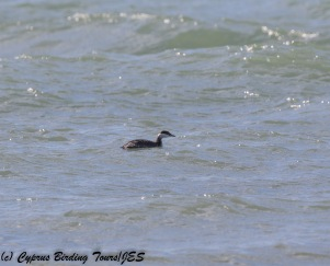 Slavonian Grebe 2, Kouklia 19th November 2017 (1 of 1)