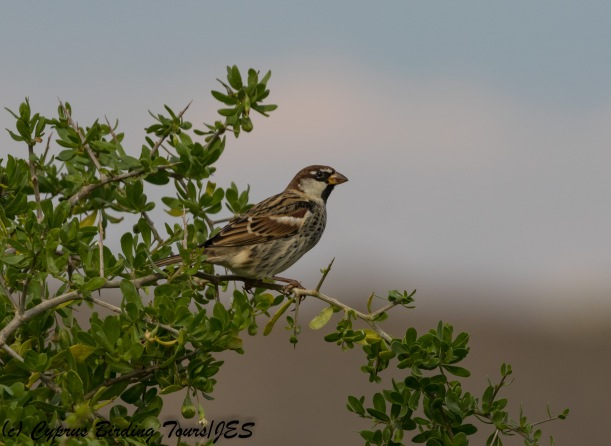 Spanish Sparrow, Agios Sozomenos 25th November 2017 (c) Cyprus Birding Tours