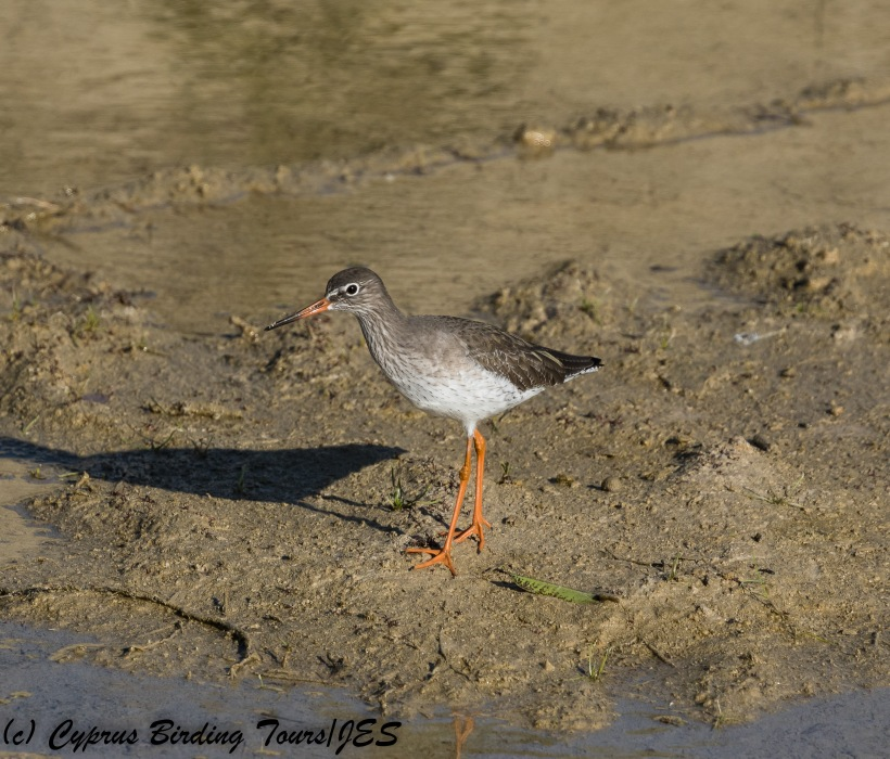 Common Redshank, Larnaca Salt Lake, 13th December 2017 (c) Cyprus Birding Tours