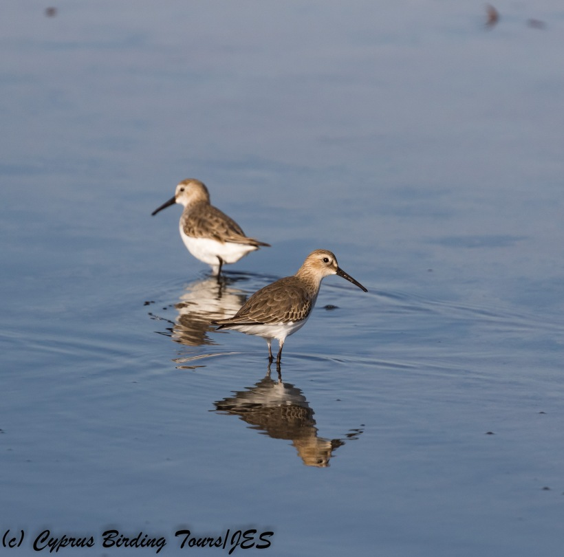 Dunlin, Meneou 13th December 2017 (d) Cyprus Birding Tours