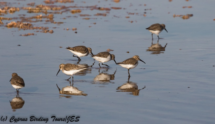 Dunlin, Meneou 13th December 2017 (c) Cyprus Birding Tours