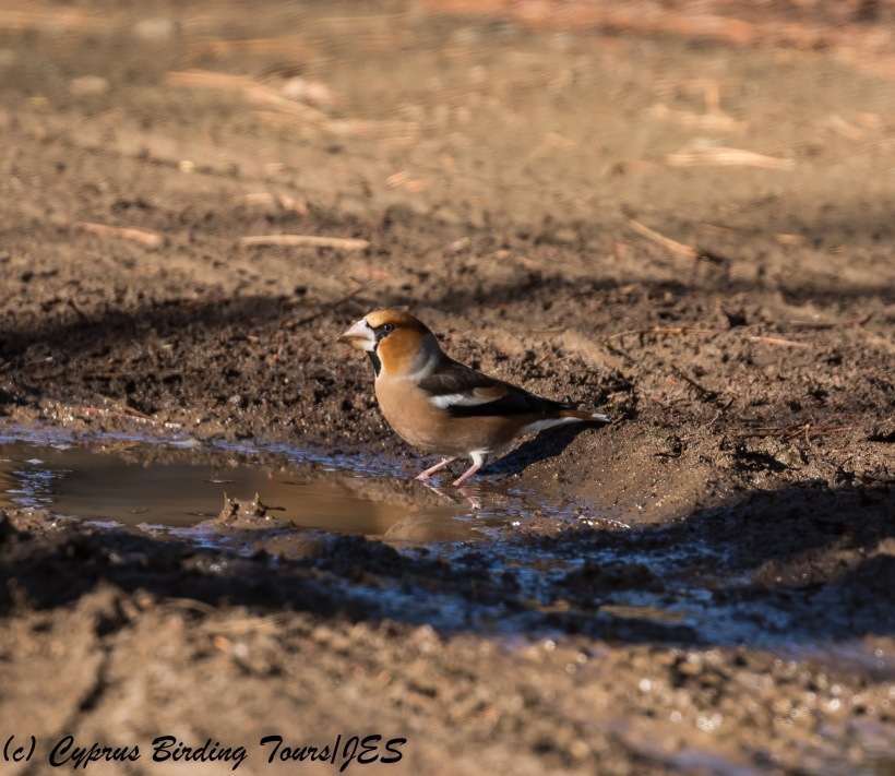 Hawfinch, Troodos, 1st December 2017 (c) Cyprus Birding Tours