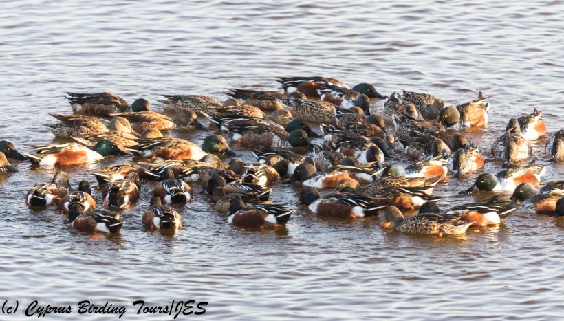 Northern Shoveler feeding, Oroklini Marsh, 13th December 2017 (c) Cyprus Birding Tours