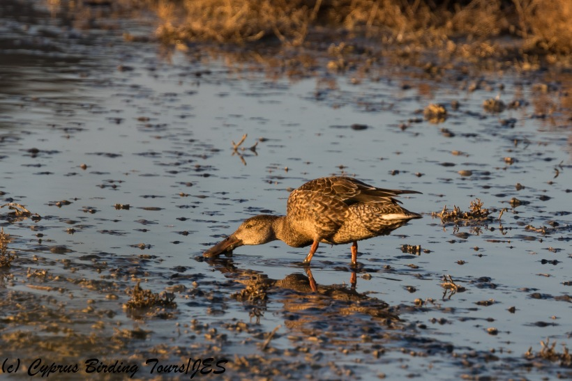 Female Northern Shoveler, Oroklini Marsh, 13th December 2017 (c) Cyprus Birding Tours