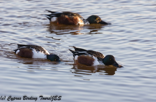 Male Northern Shoveler, Oroklini Marsh, 13th December 2017 (c) Cyprus Birding Tours