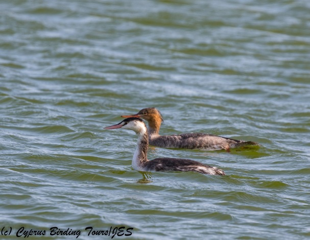 Great Crested Grebe and Red-breasted Merganser (c) Cyprus Birding Tours