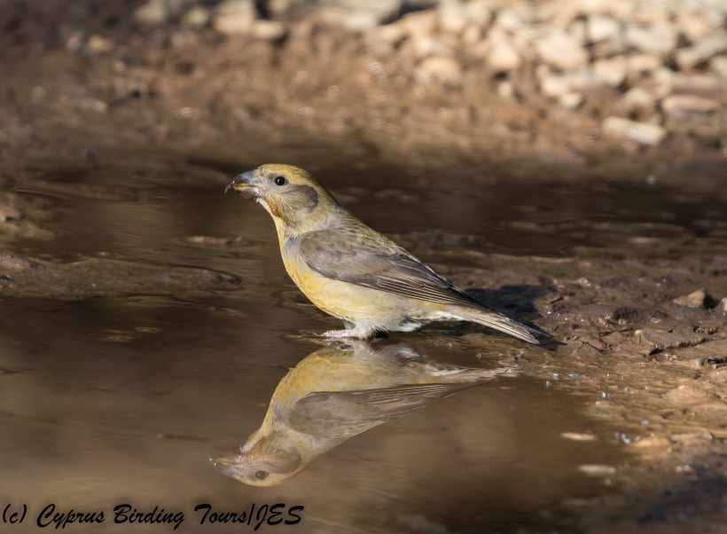 Red Crossbill, Troodos, 1st December 2017 (c) Cyprus Birding Tours