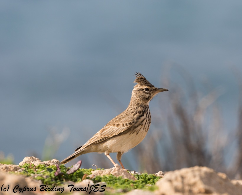 Crested Lark, Paphos Headland 9th January 2018 (c) Cyprus Birding Tours
