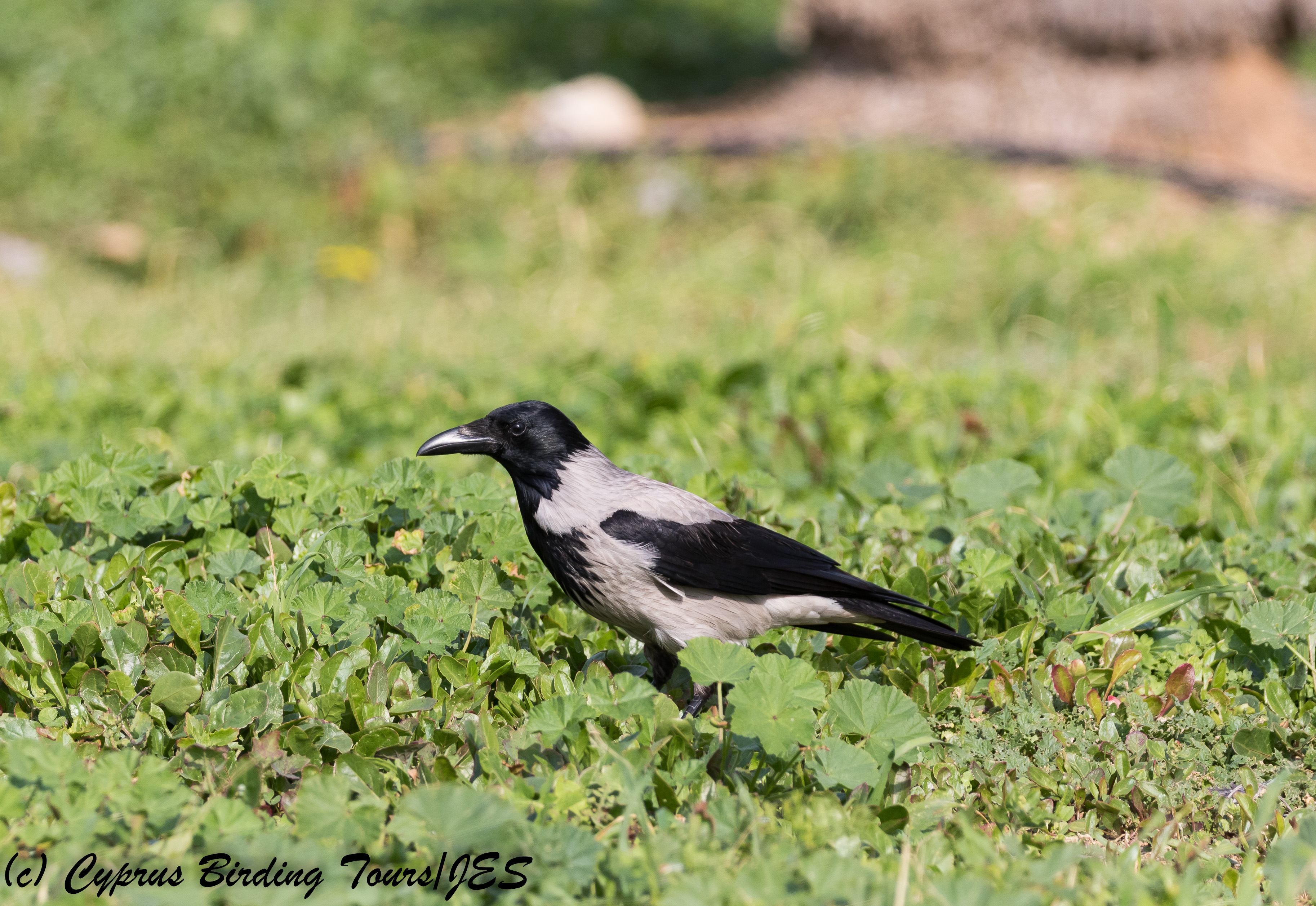 Hooded Crow, Paphos Headland 9th January 2018 (c) Cyprus Birding Tours
