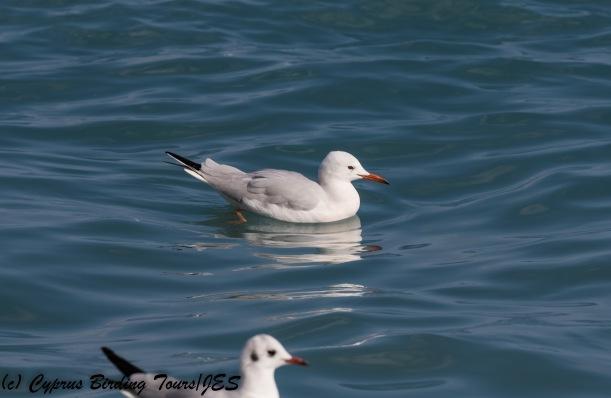 Slender-billed Gull, Lady's Mile, 27th January 2018 (c) Cyprus Birding Tours