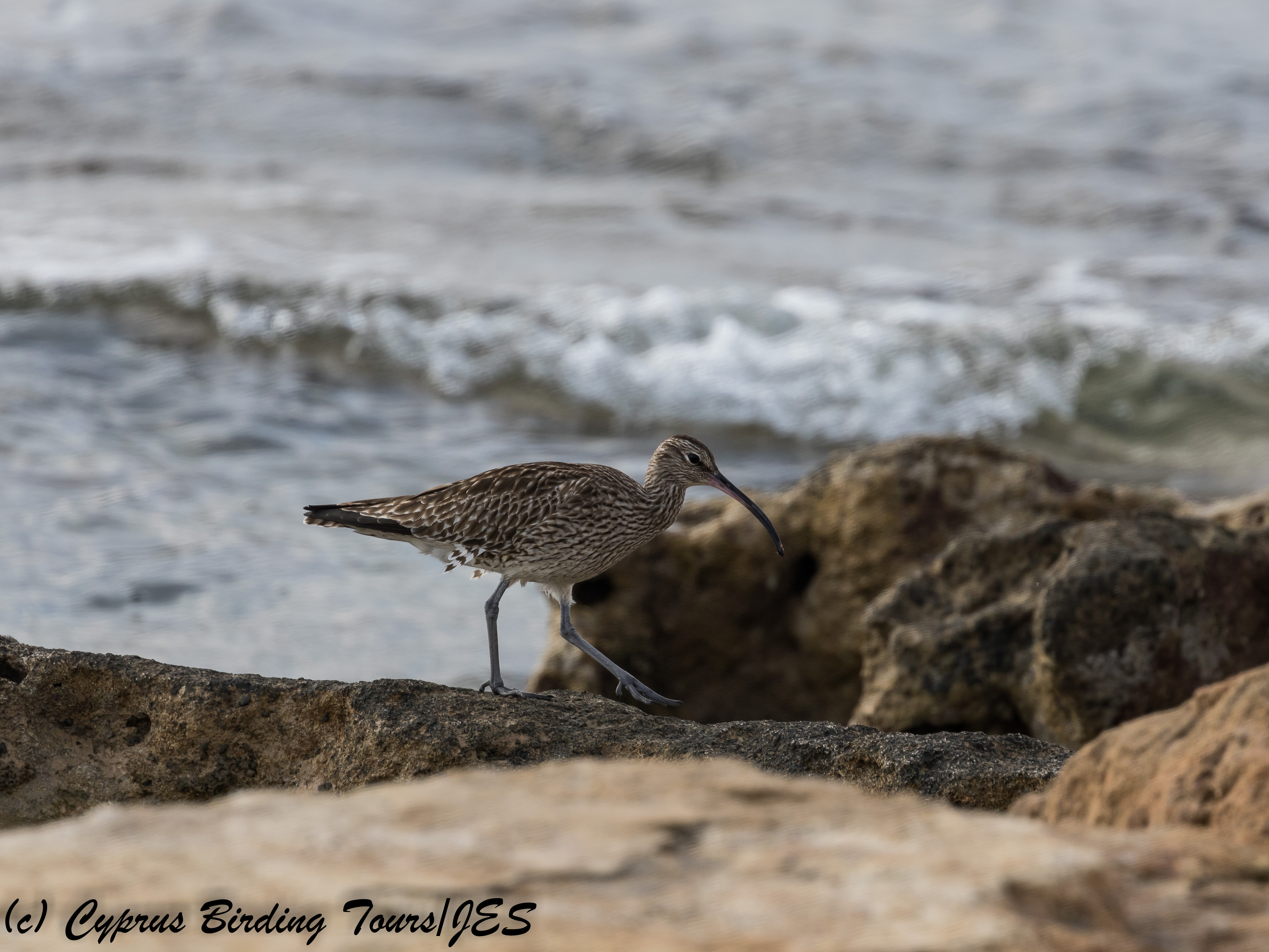 Whimbrel, Paphos Headland 9th January 2018 (c) Cyprus Birding Tours