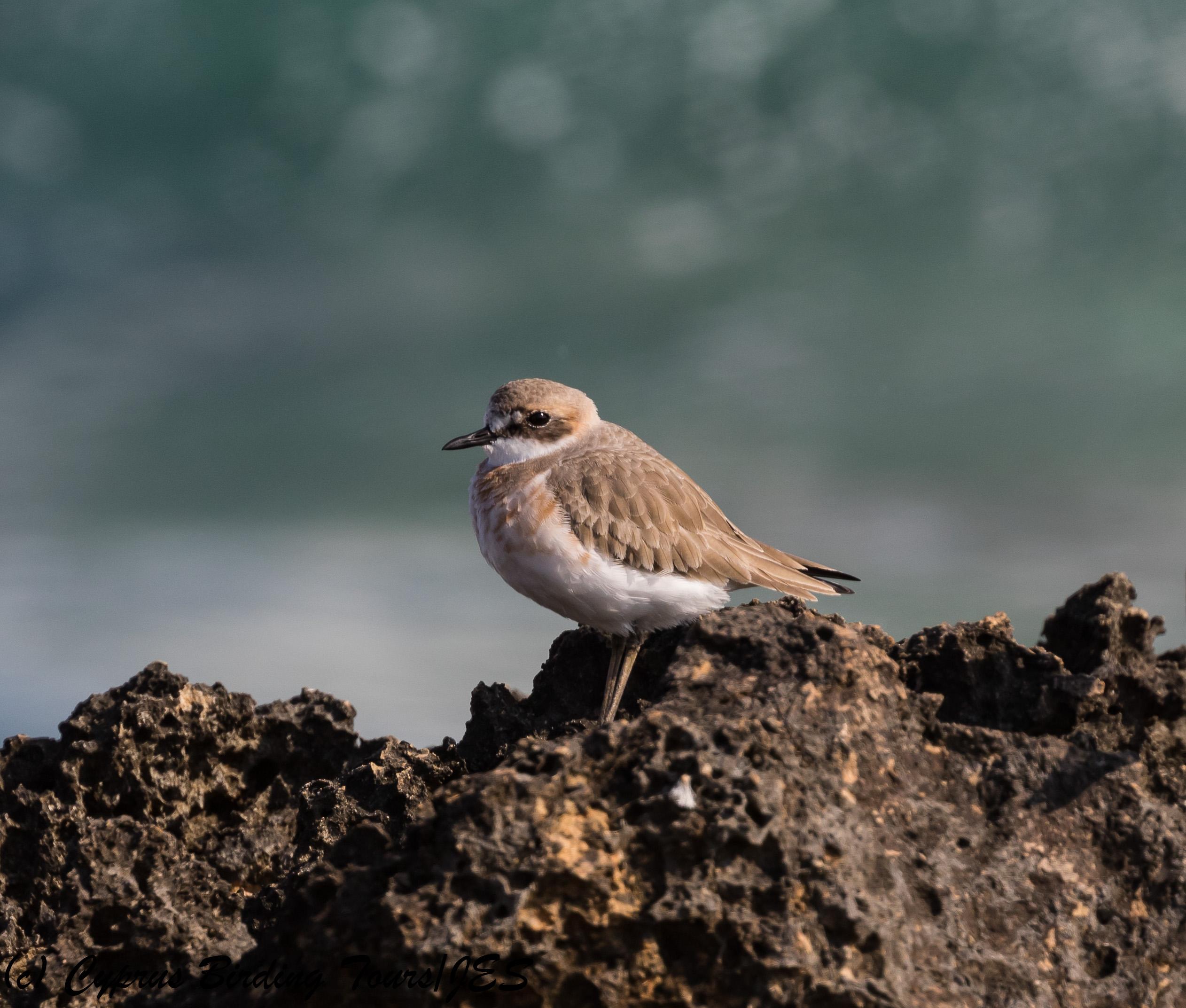 Greater Sandplover, Agia Trias, 2nd February 2018 (c) Cyprus Birding Tours