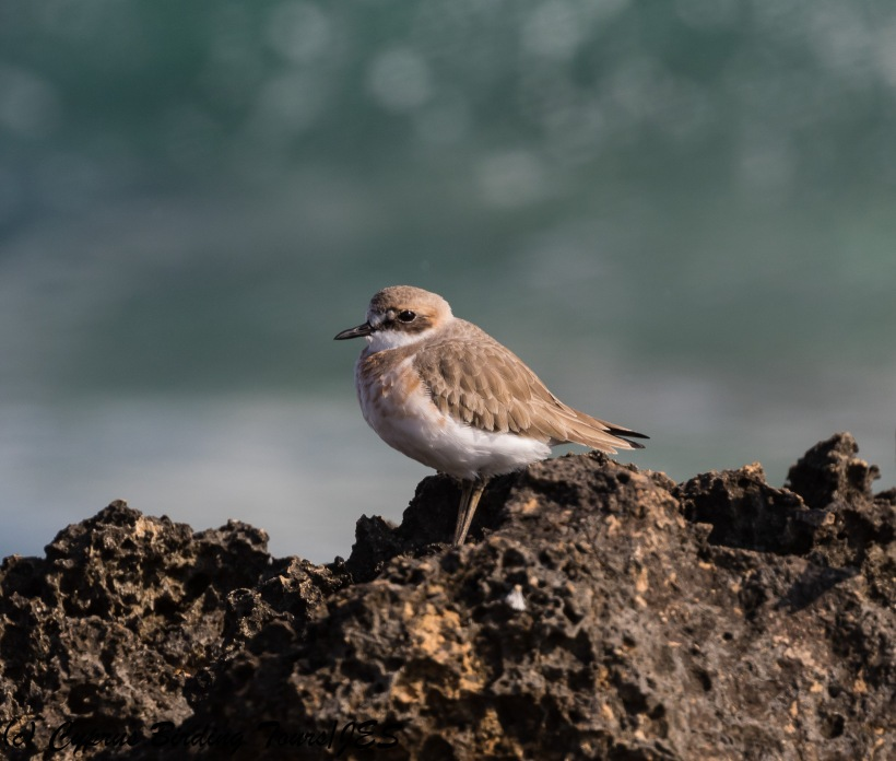 Greater Sandplover, Agia Trias, 2nd February 2018 (c) Cyprus Birding Tours