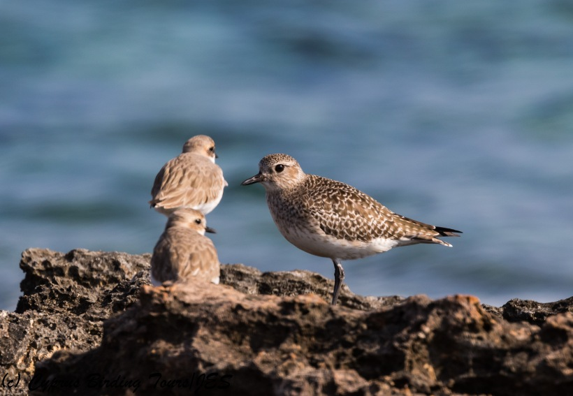 Grey Plover, Agia Trias, 2nd February 2018 (c) Cyprus Birding Tours