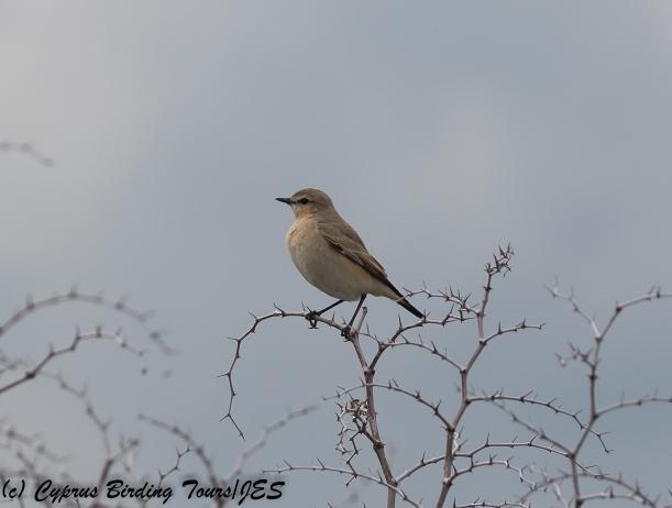Isabelline Wheatear, Kiti, 20th February 2018 (c) Cyprus Birding Tours
